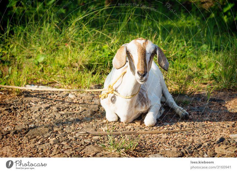 Lying tied goat, Aleppuzha, India Ferien & Urlaub & Reisen Tourismus Ferne Sightseeing Sommer Natur Sonnenlicht Grünpflanze exotisch Tier Nutztier 1 Idylle