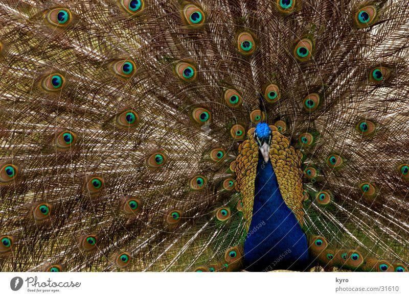 pfau vs. mandala Pfau Zoo schlagen Brunft rund Kreis konzentrisch Rosette grün Vogel Schnabel frei Farbe blau Feder