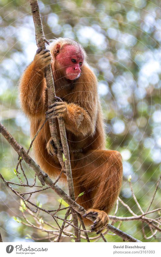 Roter Uakari Ferien & Urlaub & Reisen Natur Pflanze rot Baum Tier Einsamkeit Traurigkeit Tourismus orange Wildtier Abenteuer Schönes Wetter Klettern Fell Urwald
