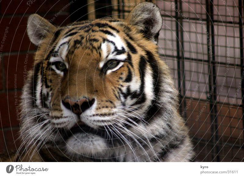 raubkatze Tiger Zoo Raubkatze Krallen Pfote gefangen Käfig Gitter Chemnitz Gebiss Stab alt
