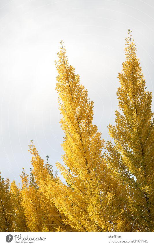 Herbst Natur Pflanze Baum Blatt Wärme gelb gold Färbung Oregon