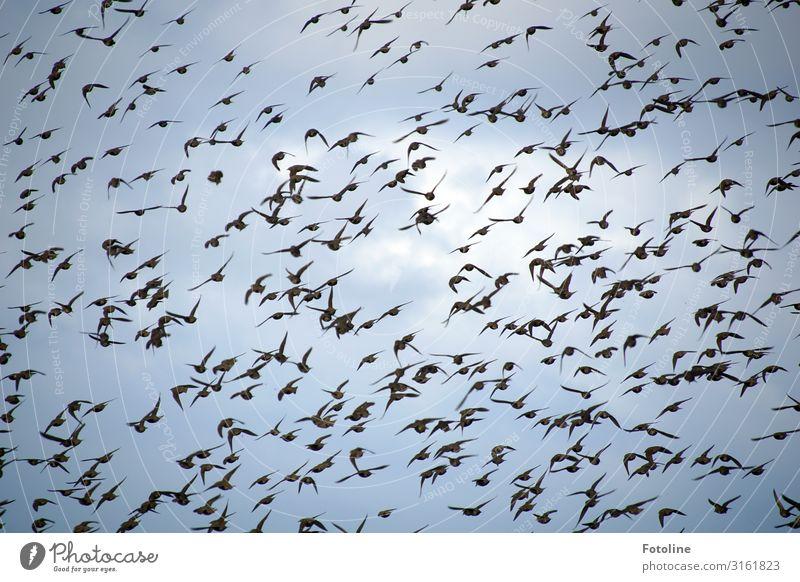 Alfred Hitchcock - Die Vögel Umwelt Natur Urelemente Luft Himmel Wolken Tier Wildtier Vogel Schwarm frei natürlich blau schwarz weiß Star fliegen viele