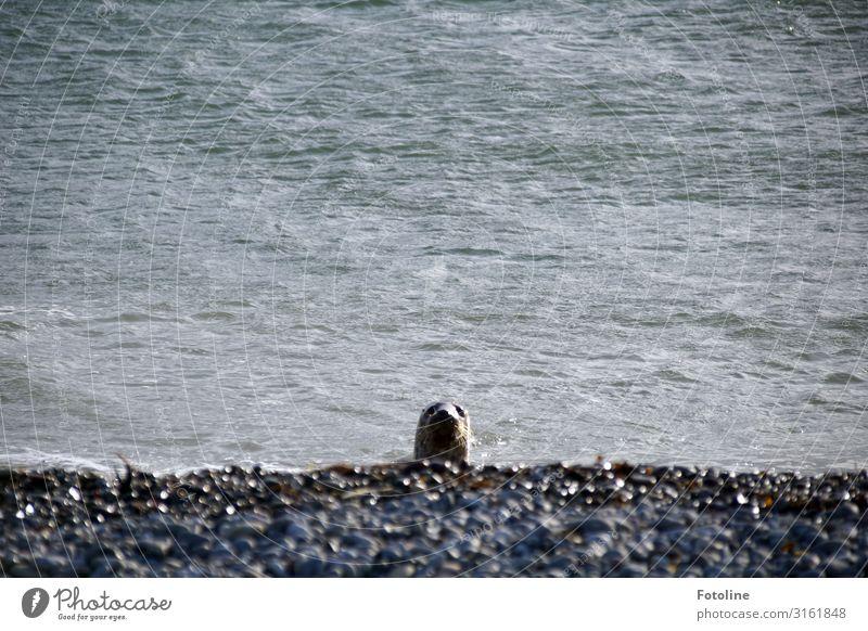 Hallooooo? Umwelt Natur Landschaft Tier Urelemente Erde Wasser Wellen Küste Strand Nordsee Meer Insel Wildtier Tiergesicht 1 frei hell nass natürlich grau