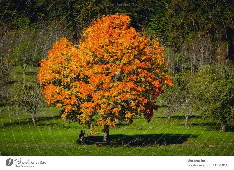 Herbstfarben sind die Farben an einem schönen Baum in mitten einer grünen Wiese. Natur Schönes Wetter Flussufer Bayern Deutschland Menschenleer Holz beobachten
