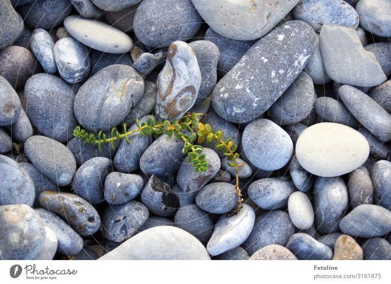 Kleiner Kämpfer Umwelt Natur Pflanze Urelemente Wildpflanze Küste Strand Nordsee Insel natürlich grau grün weiß Stein steinig Steinstrand Strandquecke Farbfoto