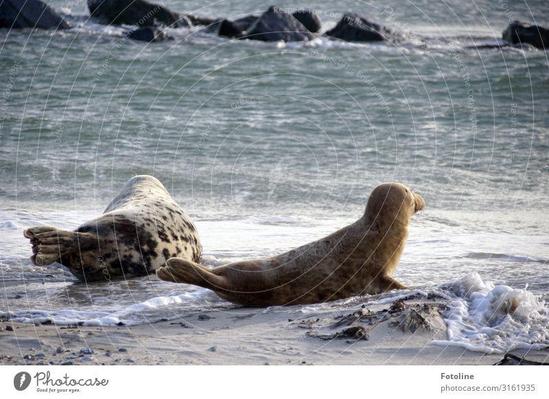 Ferfweh Umwelt Natur Tier Urelemente Erde Sand Wasser Wellen Küste Strand Nordsee Meer Wildtier 2 frei hell nah nass natürlich blau braun grau Robben Kegelrobbe