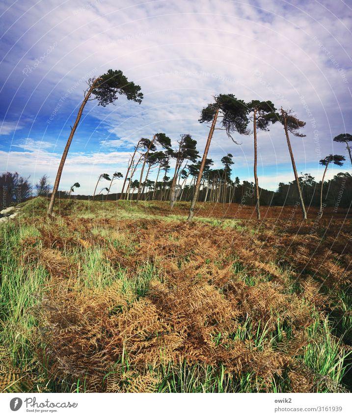 Unverdrossen Umwelt Natur Landschaft Pflanze Himmel Wolken Horizont Herbst Schönes Wetter Wind Sturm Baum Gras Sträucher Wald Ostsee Weststrand schaukeln stehen