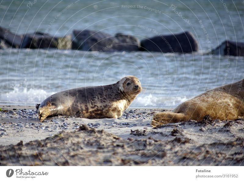 Hi Umwelt Natur Tier Urelemente Erde Sand Wasser Wellen Küste Strand Nordsee Meer Insel Wildtier Tiergesicht 2 frei hell nass natürlich braun grau Robben