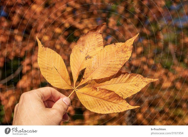 Herbstblatt harmonisch Mann Erwachsene Finger Natur Pflanze Blatt Park Wald festhalten Wärme gold orange Wandel & Veränderung Herbstlaub herbstlich Farbfoto