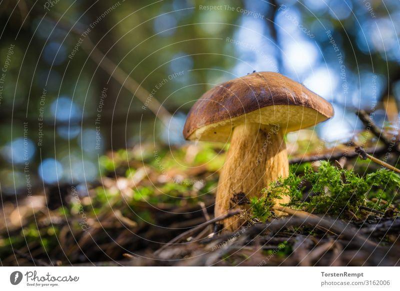 Maronen-Röhrling Lebensmittel Gesunde Ernährung Sammeln Umwelt Natur Herbst Moos Wald blau braun gelb grün Maronenröhrling Pilz Imleria badia essbar Speisepilz