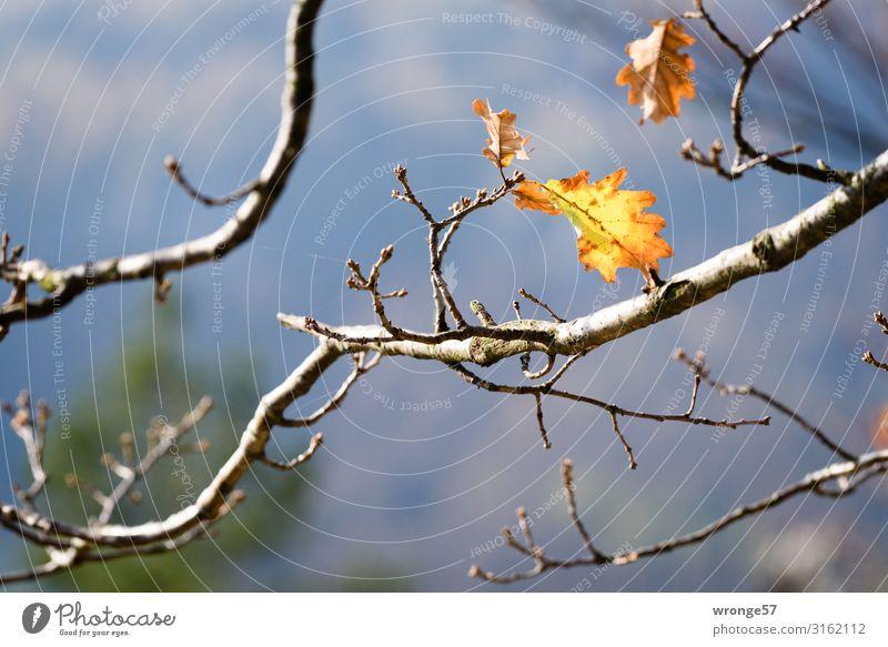 Herbstgedanken Natur Pflanze Baum Blatt gelb natürlich Felsen Hügel festhalten Sehnsucht Herbstlaub hängen herbstlich Eiche Eichenblatt