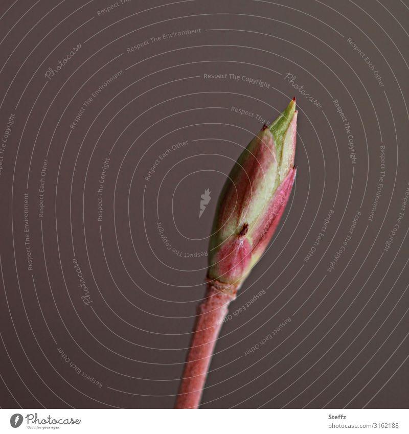 das Warten Umwelt Natur Frühling Pflanze Blatt Wildpflanze Blattknospe Jungpflanze Wald Wachstum warten klein natürlich neu schön braun grün achtsam