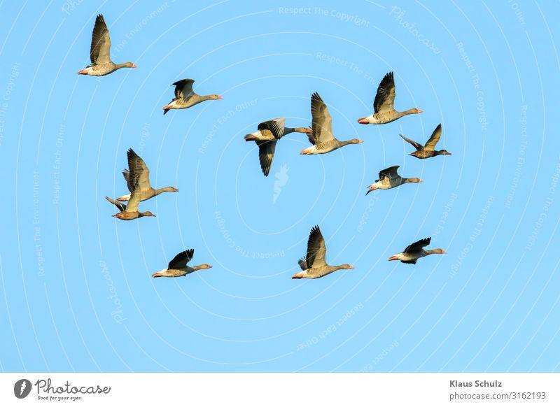 Graugänse im Flug Kanadagans Gänse Wildgans Graugans Nilgans fliegen Schwimmende Natur Vogelwelt Wildnis Schwingen flügel federn