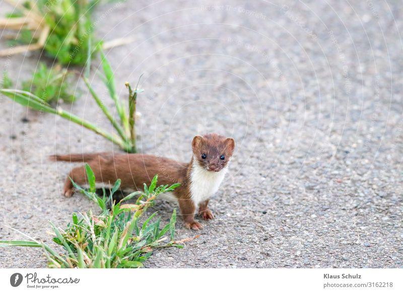 Mauswiesel auf der Straße Wiesel Natur MAMMAL RAUBTIER MARDER SÄUGETIERE NATURFOTO SÄUGER KLEINES WIESEL MAUS-WIESEL Wildtiere Fiel