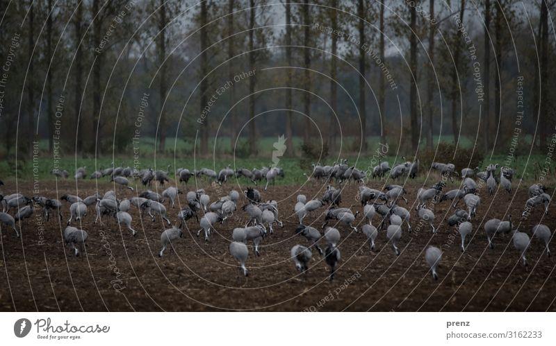 Linum 2019-1 Umwelt Natur Landschaft Tier Feld Wildtier Vogel braun grau Kranich viele Fressen Pause Storchendorf Linum Farbfoto Außenaufnahme Menschenleer Tag
