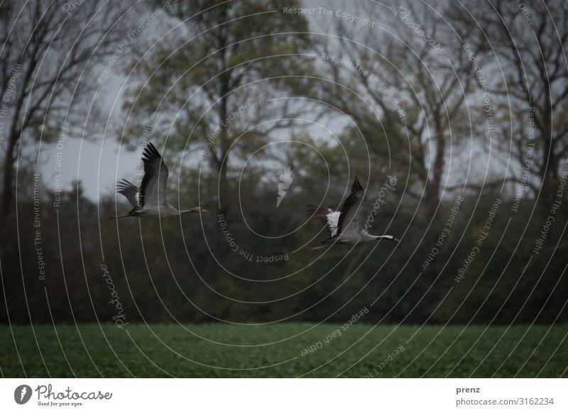 Linum 2019-3 Umwelt Natur Landschaft Tier Feld Wildtier Vogel grau grün Kranich fliegen fliegend Storchendorf Linum Herbst Farbfoto Außenaufnahme Menschenleer