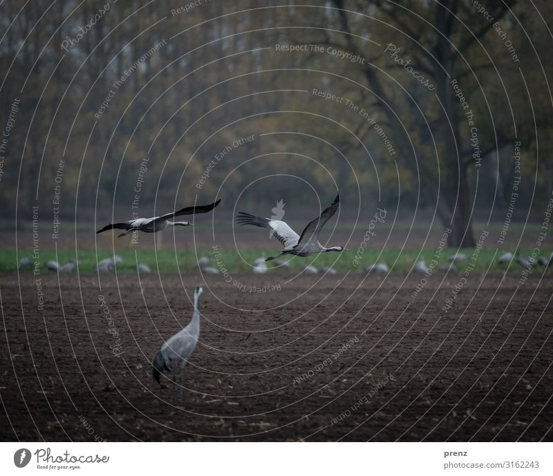 Linum 2019-2 Natur schön Landschaft Tier Umwelt braun grau fliegen Feld fliegend Kranich Storchendorf Linum