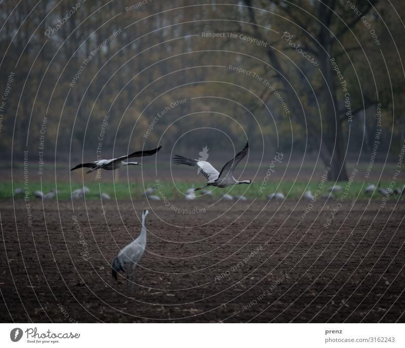 Linum 2019-2 Umwelt Natur Landschaft Tier Feld braun grau Kranich fliegen fliegend schön Storchendorf Linum Farbfoto Außenaufnahme Menschenleer Tag