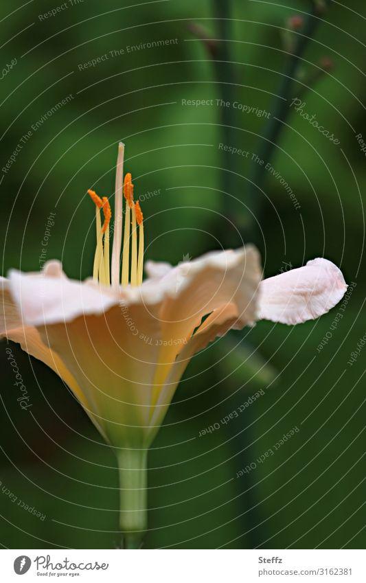 lily Umwelt Natur Pflanze Sommer Blume Blüte Lilien Lilienblüte Gartenpflanzen Gartenblume Blütenblatt Blühend elegant nah natürlich schön grün rosa Romantik
