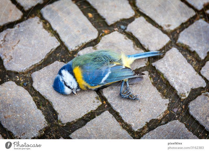 Tote Meise auf der Straße Umwelt Natur Klimawandel Stadt Straßenverkehr Verkehrsunfall Wege & Pfade Bürgersteig Tier Wildtier Totes Tier Vogel Meisen
