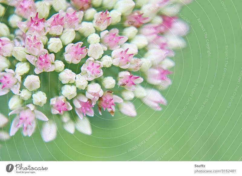 Sommer-Makro Umwelt Natur Pflanze Blume Blüte Gartenpflanzen Blühend klein nah natürlich schön grün rosa weiß Sommergefühl Makroaufnahme hellgrün Textfreiraum