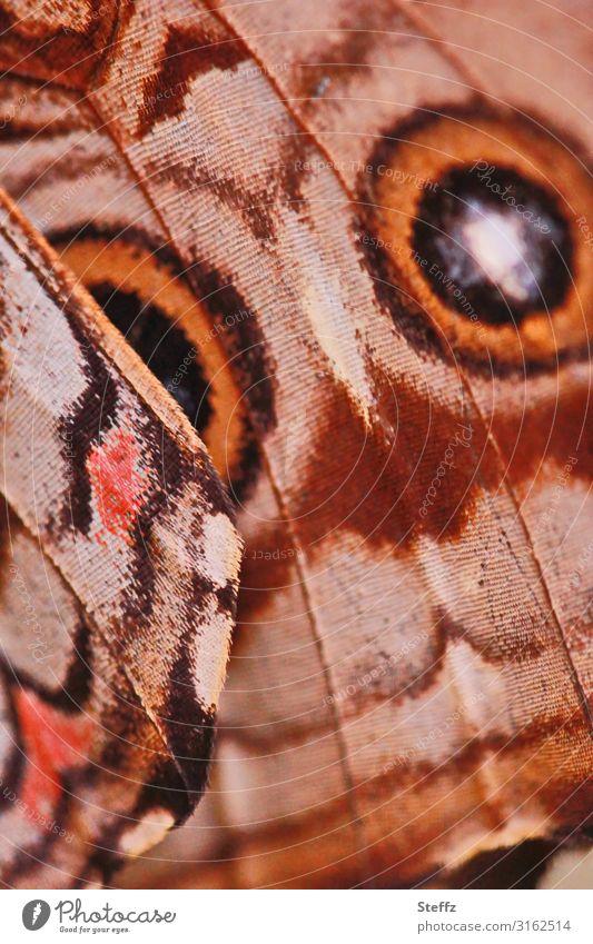 Sommerflügel Umwelt Natur Schmetterling Flügel Edelfalter Augenfalter Morphofalter Himmelsfalter nah natürlich schön braun orange ästhetisch Design Symmetrie