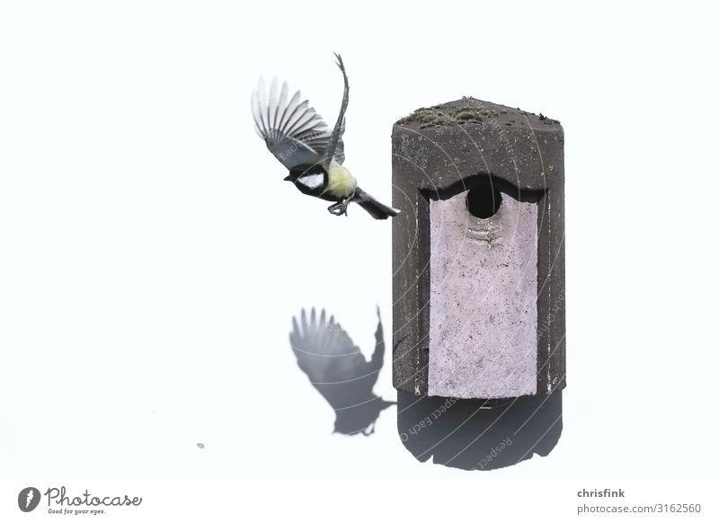 Kohlmeise verlässt Nistkasten Luftverkehr Umwelt Tier Einfamilienhaus Flugzeug Vogel Meisen 1 Tierfamilie fliegen füttern Häusliches Leben grau Verantwortung