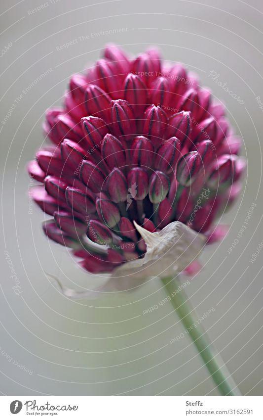 Schnittlauch will blühen Schnittlauchblüte blühender Schnittlauch Allium Blütenknospen Blütezeit Formvollendung formvollendet Natursymmetrie Symmetrie