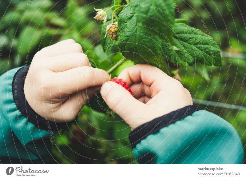 Junge pflückt frische bio Himbeeren Lebensmittel Frucht Himbeerbusch Himbeerblätter Ernährung Essen Bioprodukte Vegetarische Ernährung Diät Fasten Fingerfood