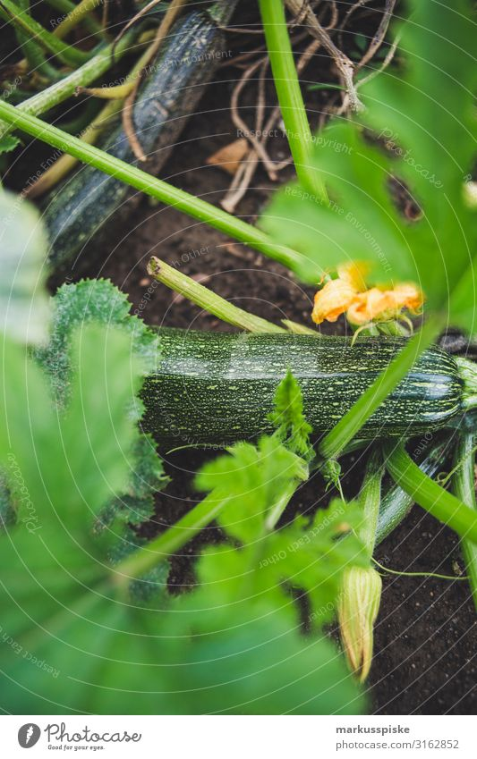 Frische bio Zucchini Lebensmittel Gemüse Zucchiniblüte Ernährung Essen Bioprodukte Vegetarische Ernährung Diät Fasten Slowfood Freude Glück Gesundheit