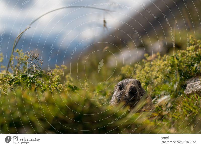 Das interessierte Murmeltier Glück Ausflug Abenteuer Berge u. Gebirge wandern Natur Tier Herbst Schönes Wetter Sträucher Wildpflanze Tiergesicht 1 beobachten