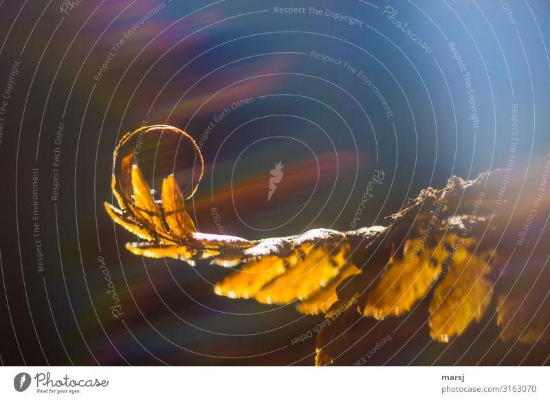 Feinst gerollt Leben harmonisch ruhig Meditation Herbst Pflanze Farn Spirale leuchten außergewöhnlich Ende Entschlossenheit Natur träumen durchleuchtet Schliere