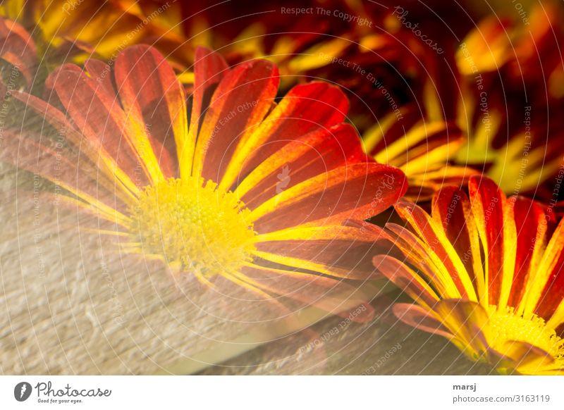 Blühende Chrysantemen Blumen blühen Blütenpflanze Sommer frühling Frühlingserwachen leuchten rot gelb orange gestreift sonderbar verlaufend Farbfoto Vorfreude