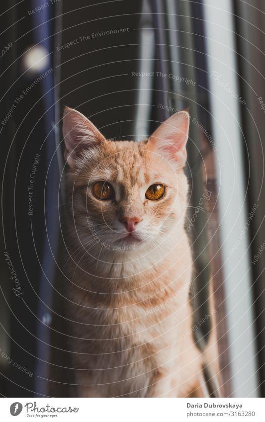 Rote Katze sitzt in einem Zimmer auf der Fensterbank heimwärts Raum katzenhaft fluffig Säugetier niedlich Tier Haustier weiß Katzenbaby rot heimisch Fell orange