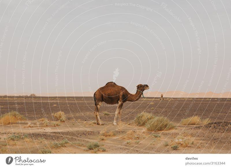 Seitenansicht des schönen Dromedars in der Wüste. exotisch Ferien & Urlaub & Reisen Ausflug Abenteuer Safari Sommer Natur Landschaft Tier Sand Wärme Sahara