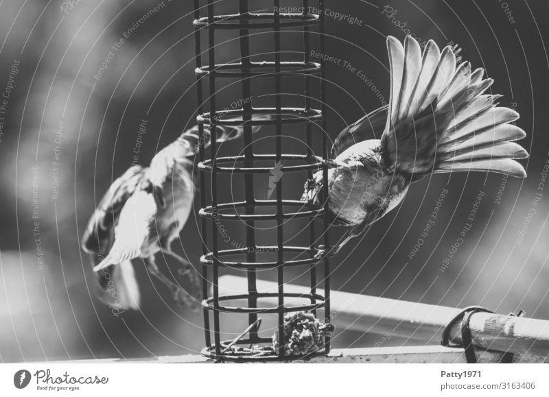 Spatzen an der Futterstelle Tier Wildtier Vogel 2 fliegen Fressen füttern Natur Schwarzweißfoto Außenaufnahme Nahaufnahme Menschenleer Textfreiraum links Tag