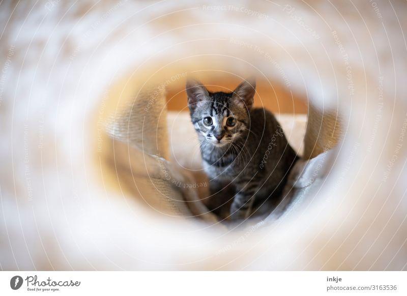 Emmy Haustier Katze Tiergesicht 1 Tierjunges Kratzbaum Blick authentisch niedlich unschuldig Durchblick Farbfoto Gedeckte Farben Innenaufnahme Nahaufnahme Tag