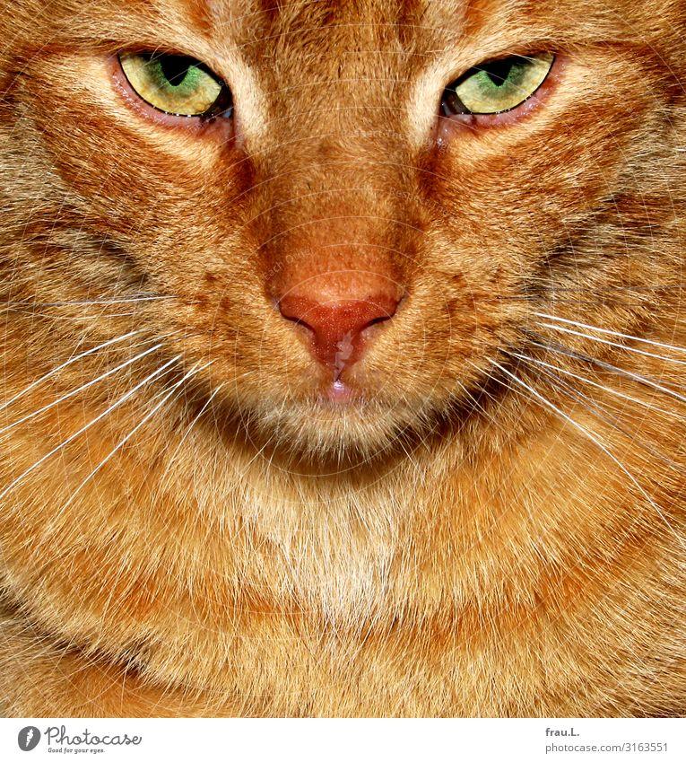 Grüne Augen Tier Haustier Katze Tiergesicht Fell 1 Blick bedrohlich schön braun Kraft Willensstärke Tierliebe Wachsamkeit Landraubtier gefährlich Farbfoto