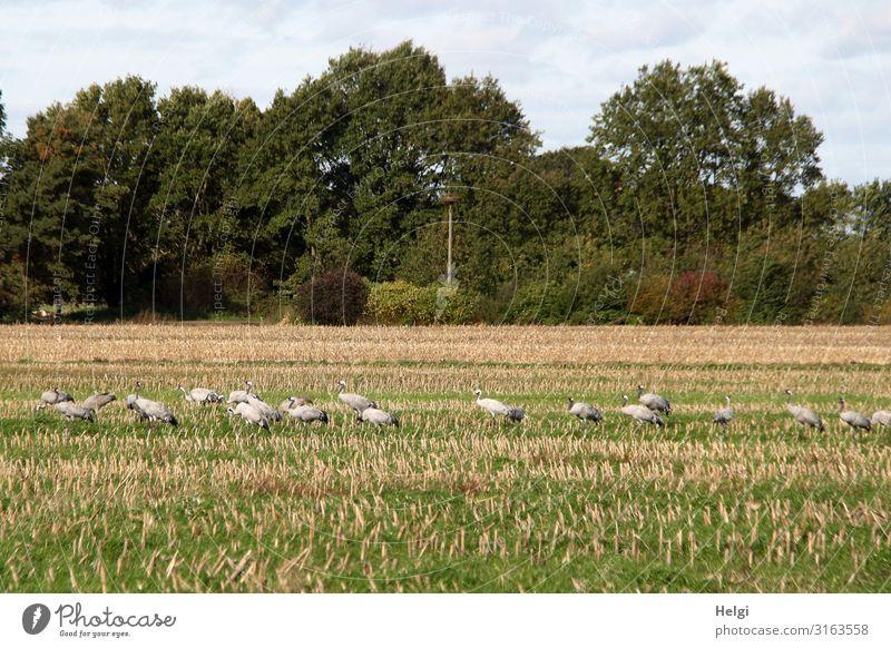 viele Kraniche suchen Futter auf einem abgeernteten Maisfeld Umwelt Natur Landschaft Pflanze Tier Himmel Wolken Herbst Baum Nutzpflanze Feld Wildtier Vogel