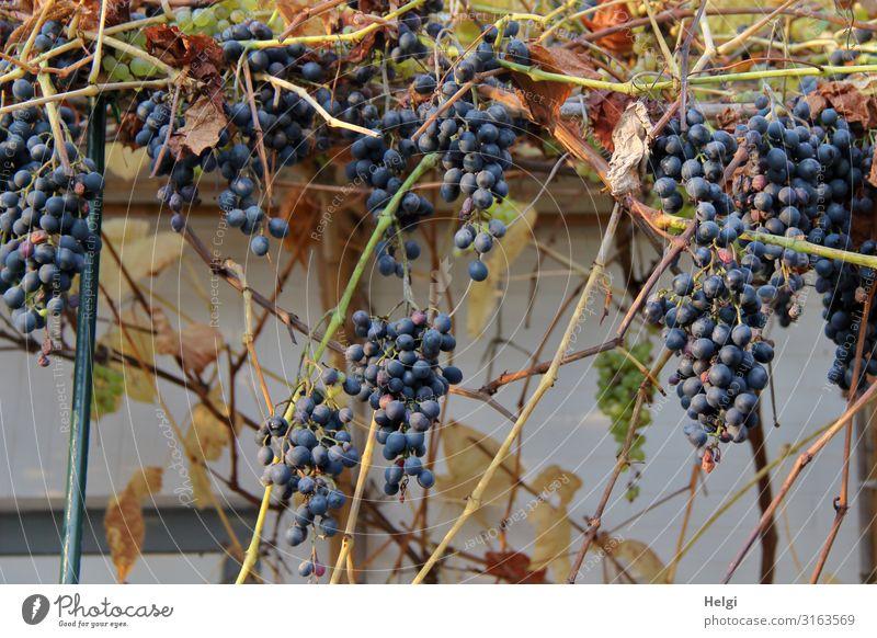 reife dunkelrote Weintrauben wachsen an der Wand einer Terrasse Lebensmittel Frucht Umwelt Natur Pflanze Nutzpflanze Mauer hängen Wachstum authentisch