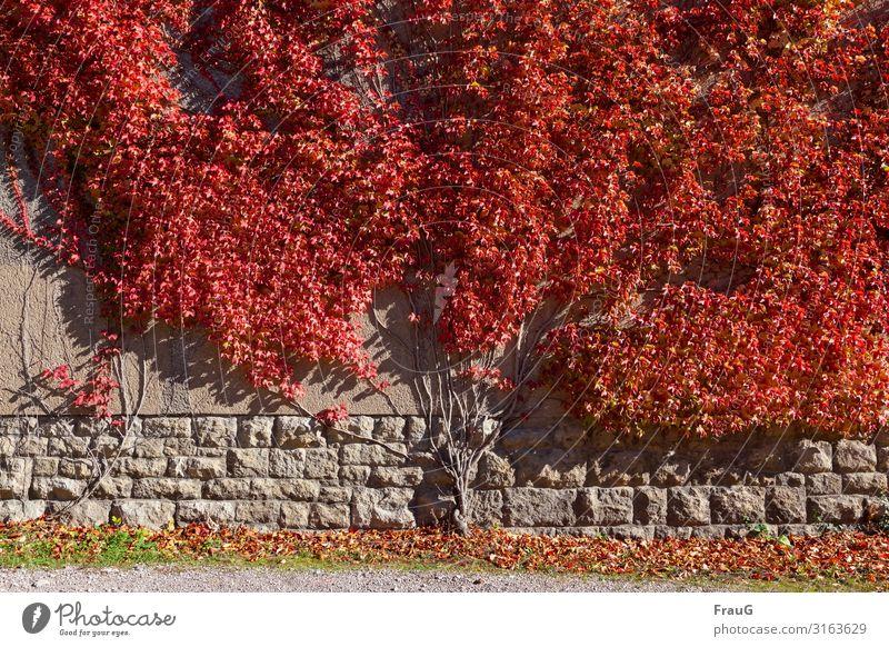 Herbstfeuer Efeu Kletterpflanze Sträucher Mauer Wand leuchten rot ausbreiten Blatt Färbung klettern Sonnenlicht Farbfoto Außenaufnahme Tag