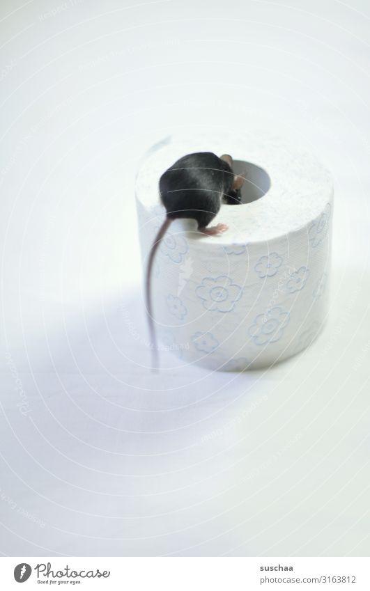 maus Maus Tier Haustier Nagetiere niedlich Blick Suche schauen Neugier Angst Vorsicht Loch Toilettenpapier Schwanz Füßchen Fell schwarzes Fell lustig skurril