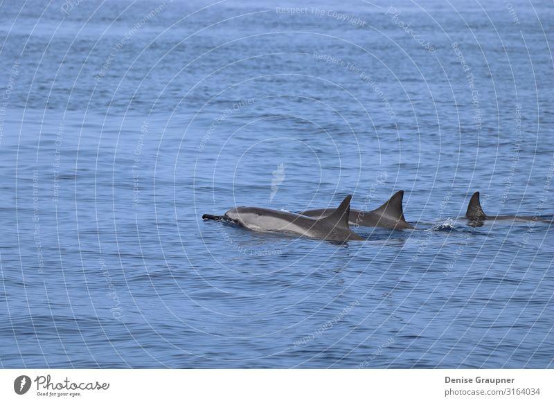 Dolphins swim together in the sea in Hawaii Leben Schwimmbad Sommer Umwelt Natur Landschaft Wasser Klima Klimawandel Schönes Wetter Meer Wildtier Fisch