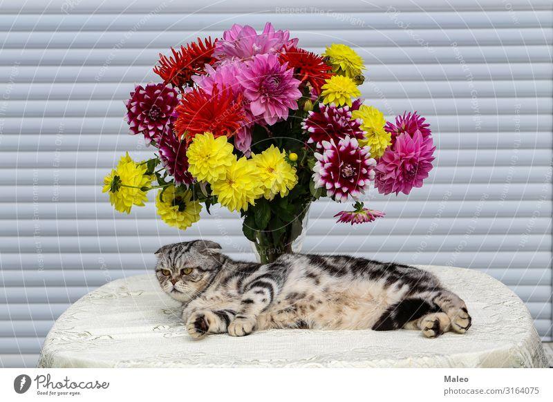 Auf dem Tisch steht ein Strauß schöner heller Dahlien Blumenstrauß Dekoration & Verzierung frisch Natur Pflanze Herbst Astern Chrysantheme Garten Blütenblatt