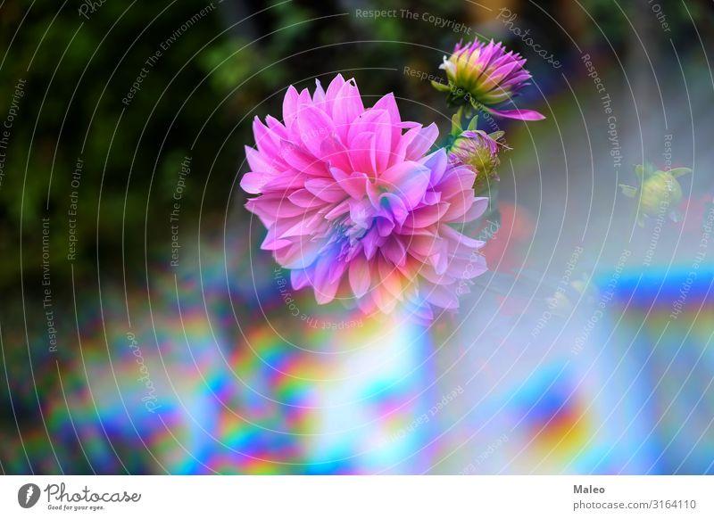 Dahlien abstrakt Kunst Hintergrundbild Blüte Blumenstrauß Blütenknospen Nahaufnahme Farbe frisch Garten Geschenk grün Makroaufnahme Natur Blütenblatt rosa