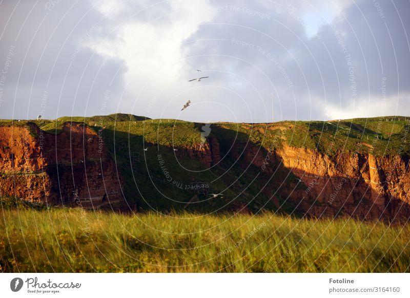 Roter Felsen Helgoland Umwelt Natur Landschaft Pflanze Urelemente Erde Schönes Wetter Gras Wiese Tier Wildtier Vogel frei natürlich braun grün Möwenvögel