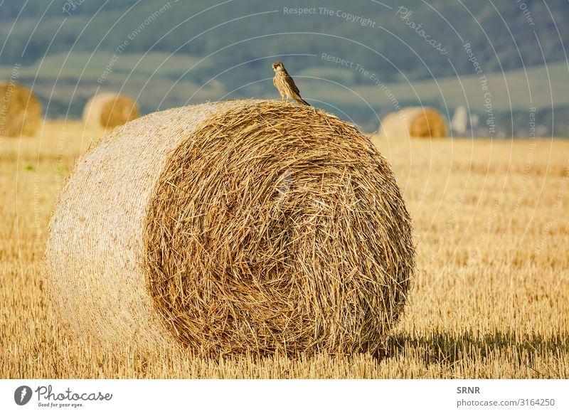 Junger Falke Umwelt Landschaft Tier Wiese Vogel wild Akzipitator landwirtschaftliche Fläche landwirtschaftlicher Betrieb Ackerfläche Ackerboden Vogelwelt Ballen
