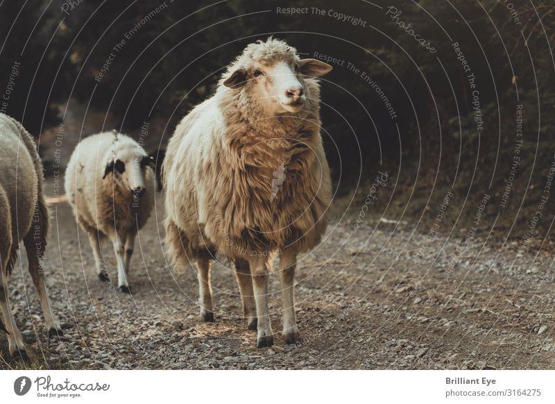 der Schotterpiste entlang Natur Herbst Tier Nutztier Schaf 2 laufen Blick frei Gesundheit positiv Optimismus Neugier Interesse Beginn Erholung Kosovo Balkan