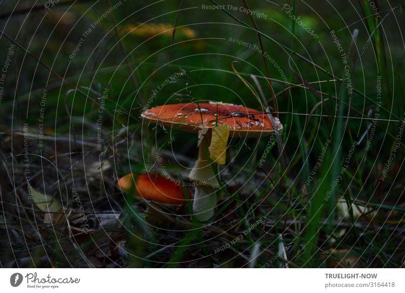 Bäh | Großer und kleiner Fliegenpilz im Unterholz von dunkelgrünem Gras umgeben Fliegenpilze groß und klein rot weiß Dämmerlicht Wald Umwelt Natur schön