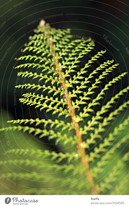 Symmetrie Umwelt Natur Pflanze Sommer Blatt Grünpflanze Wildpflanze Farn Farnblatt Jungpflanze Waldpflanze Gartenpflanzen Wachstum ästhetisch natürlich schön